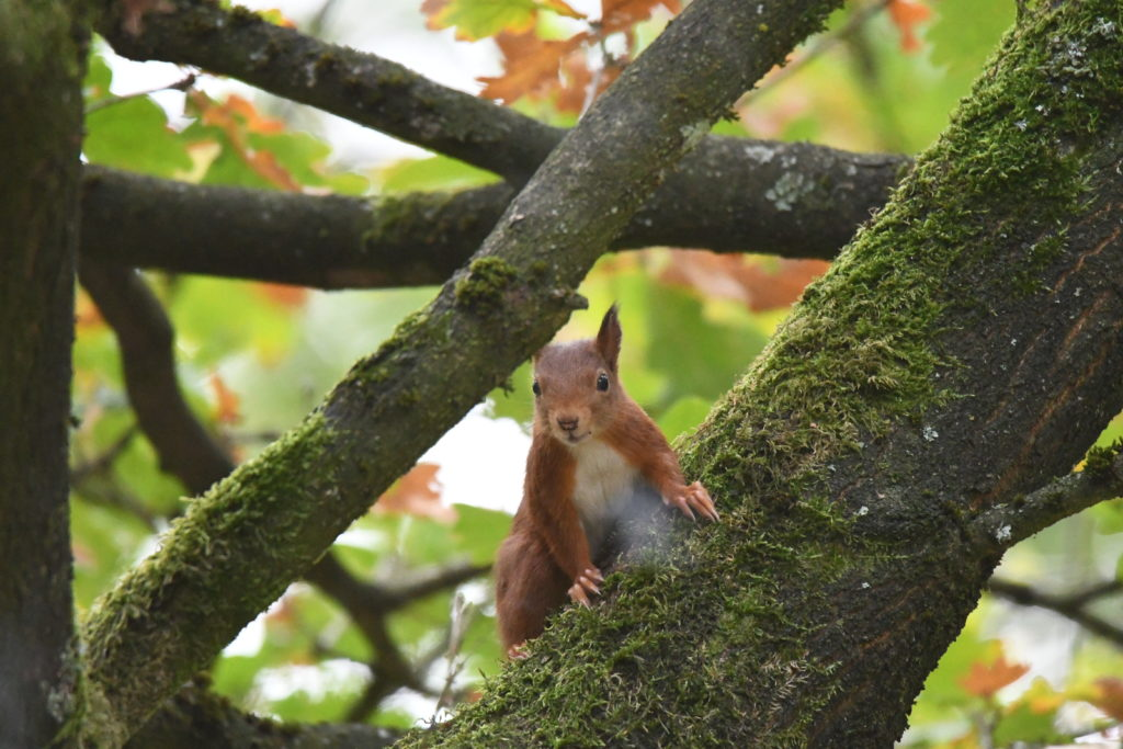 Europese rode eekhoorn
